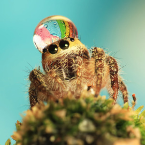 Jumping Spider rainbow
