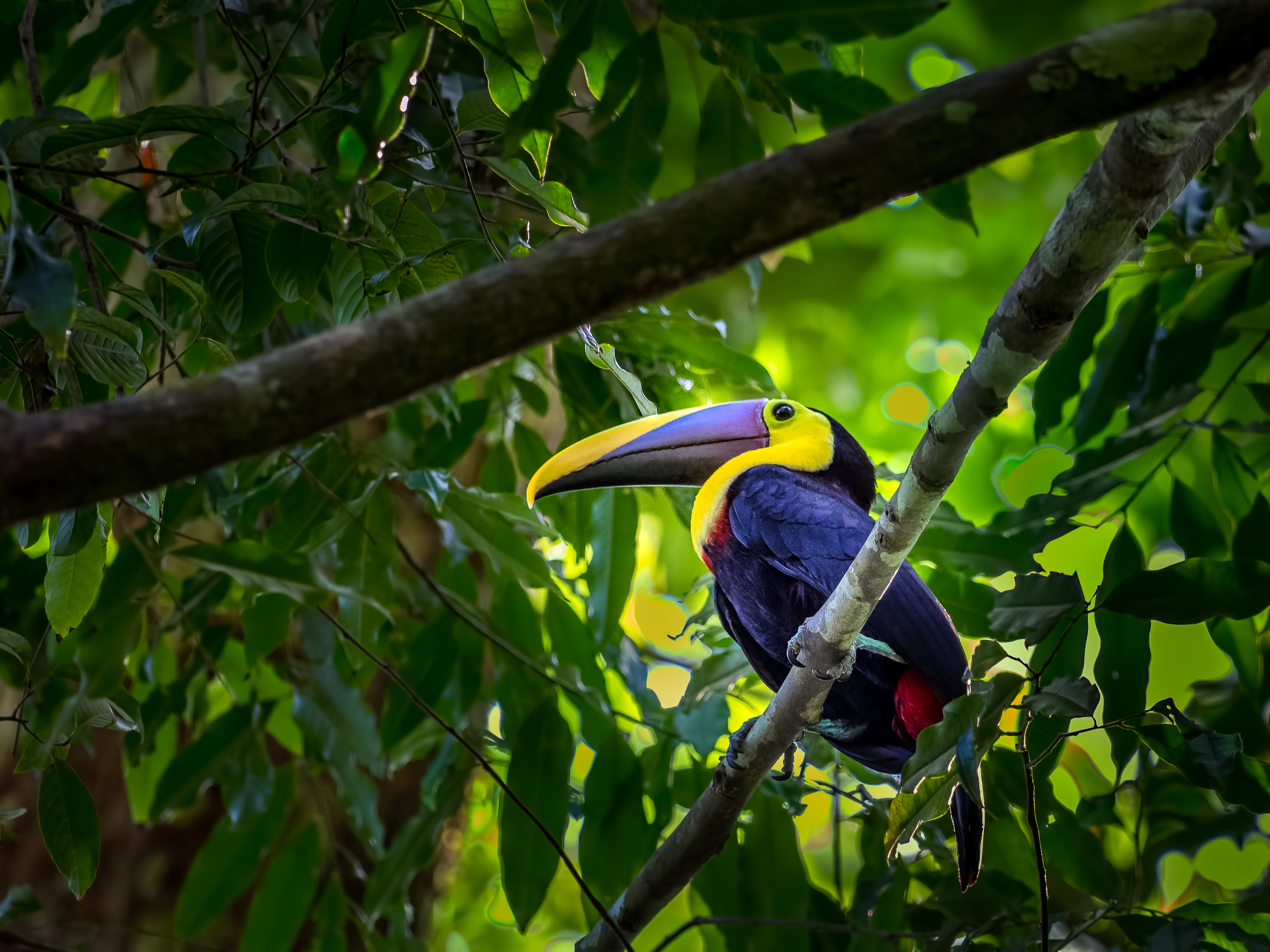 Olympus M.Zuiko ED 300mm F4.0 IS PRO sample image: toucan in the jungle