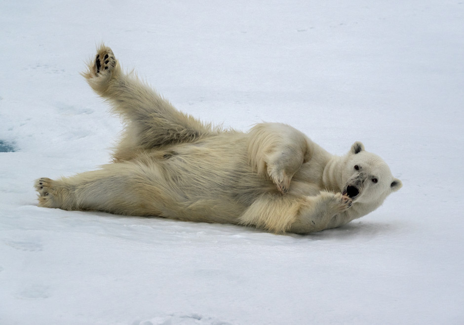 Near Baffin Island, a polar bear luxuriates in the cold weather