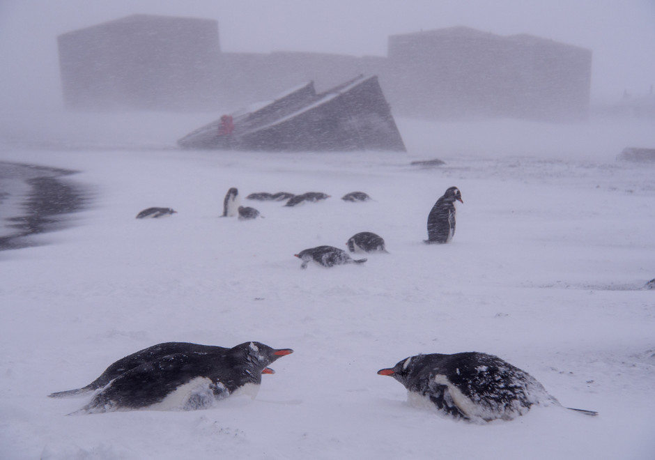 Whaler's Cove in the Antarctic, penguins hunker down in teeth of a blizzard