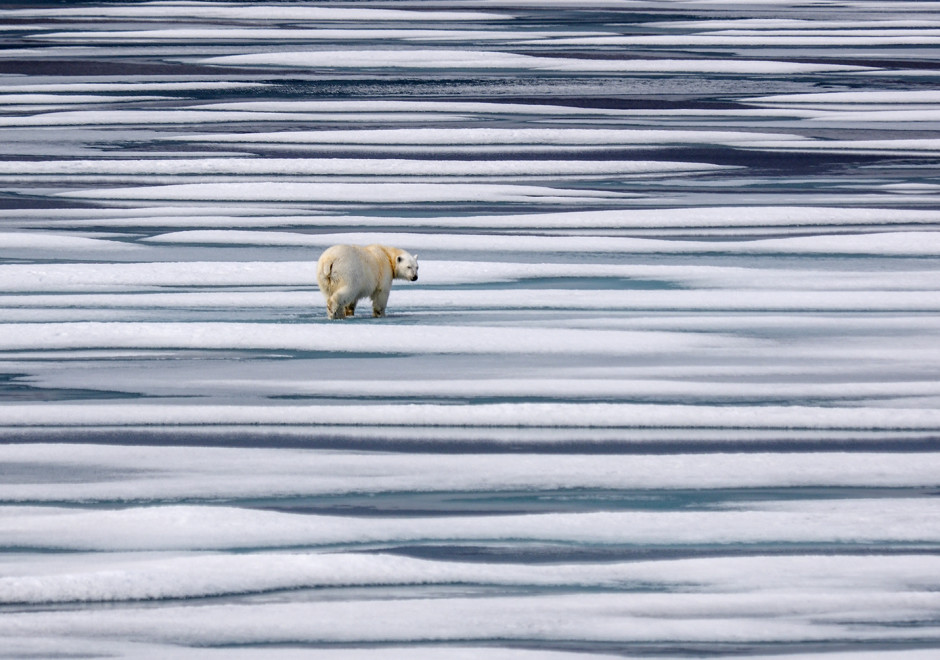 Polar bear walking across ice in Canadian high arctic