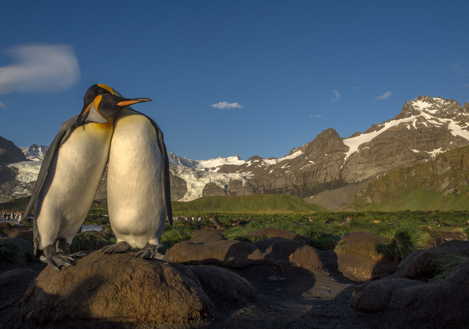 Two King penguins in morning light on Gold Harbour, South Georgia