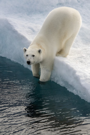 Polar bear considering going back into water in Canadian high arctic.